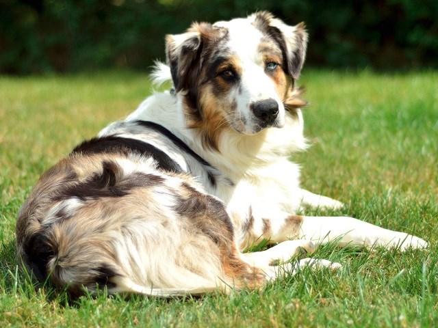 Australian Shepherd Dog Puppies for sale near you