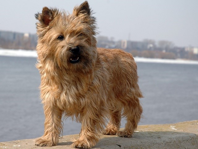 Cairn Terrier Puppies For Sale Near You