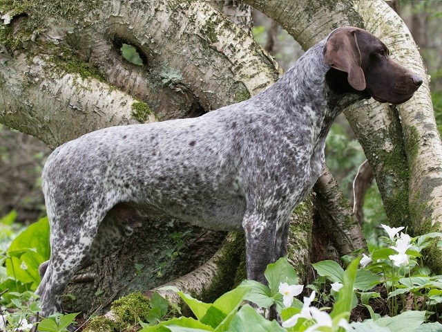 German Shorthaired Pointer Puppies For Sale Near You