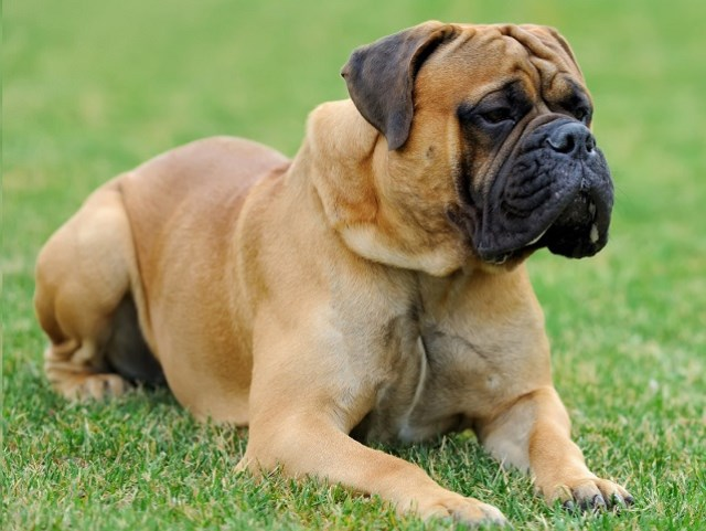 Mastiff Puppies for sale near you