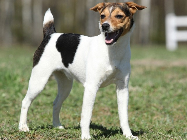 Parson Russell Terrier Puppies For Sale Near You
