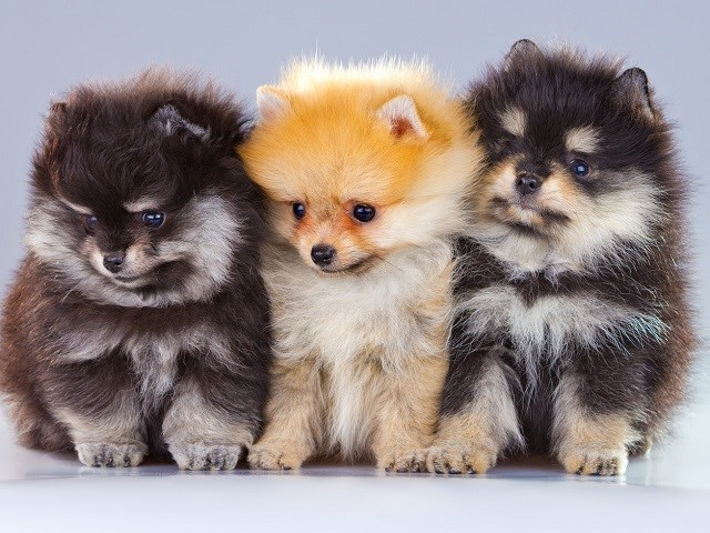 Pomeranian Puppies For Sale Near You