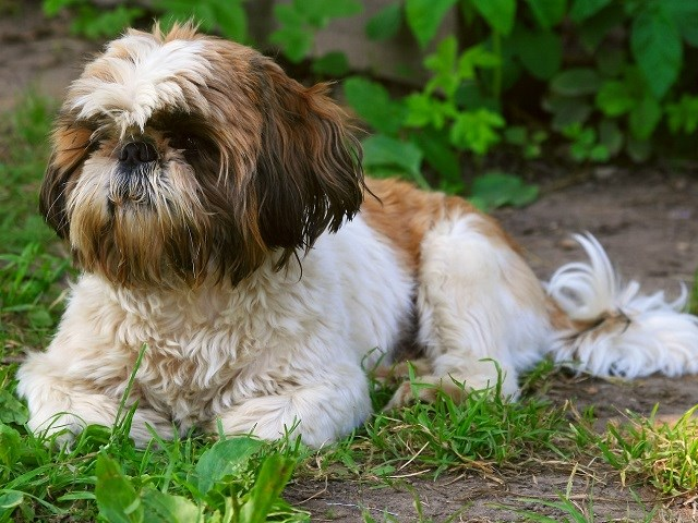 Shih Tzu Puppies For Sale Near You