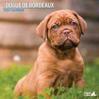 Dogue De Bordeaux Puppies For Sale Near You