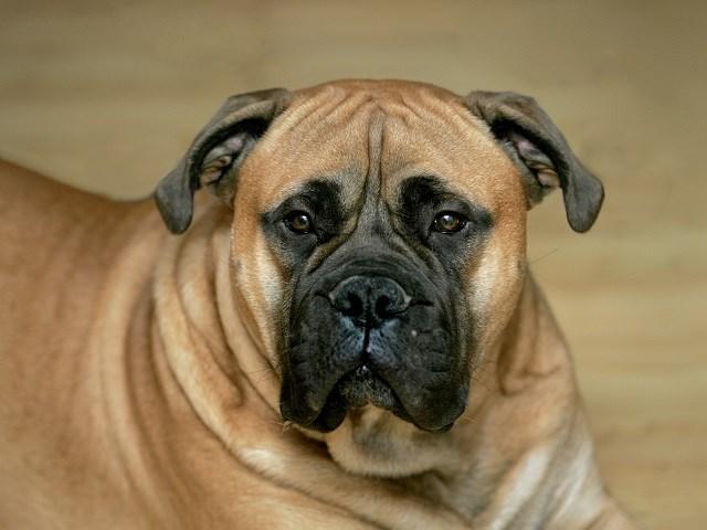 Bullmastiff Puppies For Sale Near You