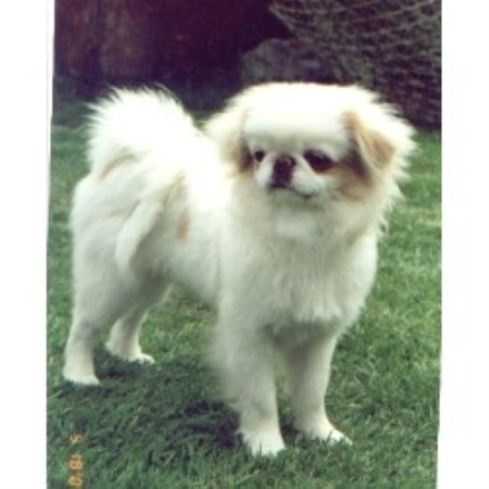 Javalcy Japanese Chin Breeder In Liverpool Merseyside