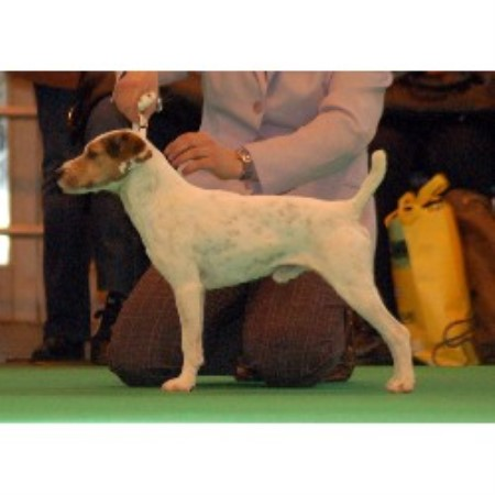 Pacolito, Parson Russell Terrier Breeder in Doncaster ...
