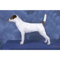 Parson Russell Terrier Breeders near you