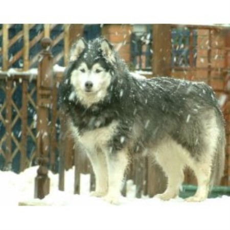 siberian husky breeders and breeding kennels find a quality breeder ...