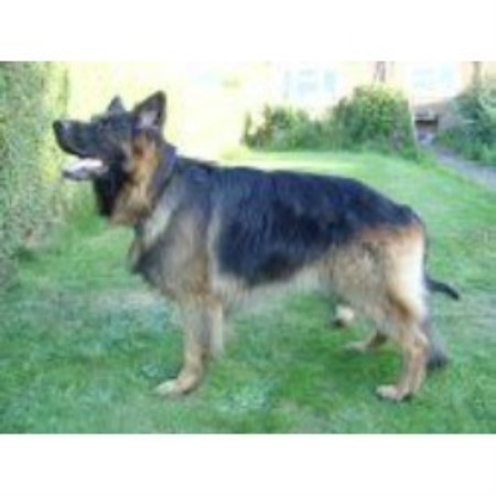 Adult Dog For Sale In Perth And Kinross