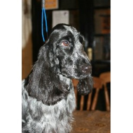 Blue Roan English Springer Spaniel
