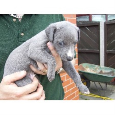 Wigan Dogs For Sale Facebook Uk