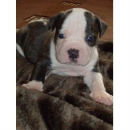 Alapaha Blue Blood Bulldog breeder Rotherham 13716