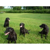 Labrador Retriever Breeder in Banff, Aberdeenshire