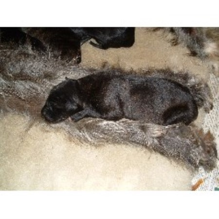 Scottish Deerhound breeder in Worcestershire