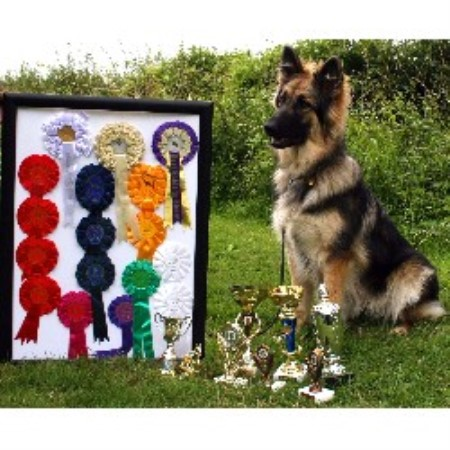 Shekinah German Shepherd Dog Breeder In Bedford Bedfordshire