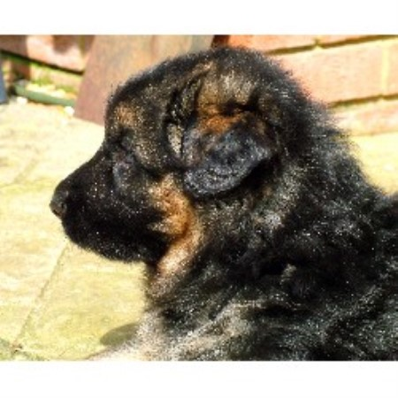 German Shepherd Dog Breeder in Bedfordshire