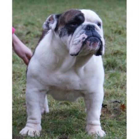 Jackarhys Bulldogs , English Bulldog Breeder in Ellesmere ...