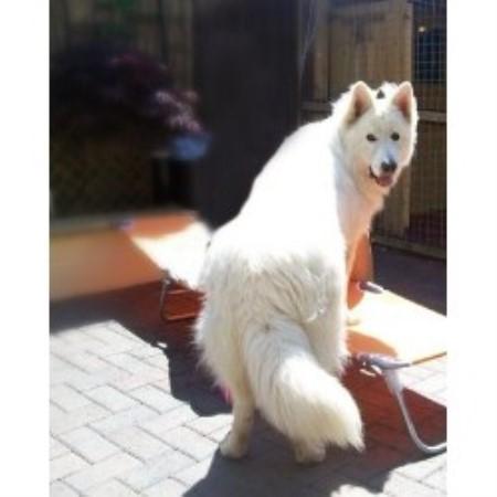 Dog Rescue Edinburgh Samoyed