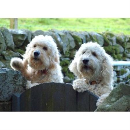Burnside Goldendoodles in Dumfries, Dumfries and Galloway Black King Shepherd Puppies