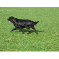 Flat Coated Retriever Breeders Near You