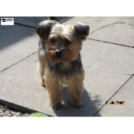 Vergo yorkshire terrier breeder