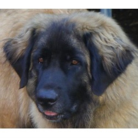 Leonberger Breeder in Suffolk