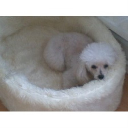 Poodle Toy Breeders and Breeding Kennels in the UK