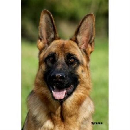 Kennel Dog Rescue German Shepherd Puppies Suffolk Norfolk