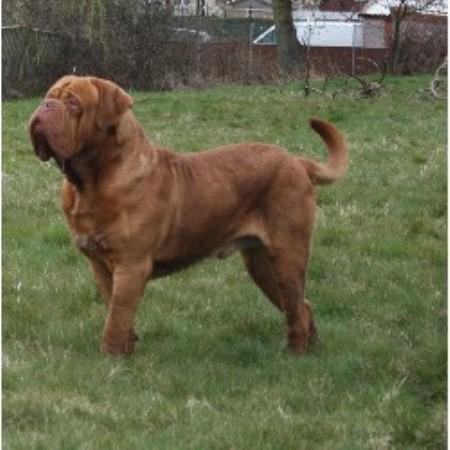 Dog De Bordeaux Rescue Kent