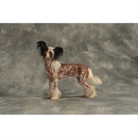 Chinese Crested Breeder in Essex