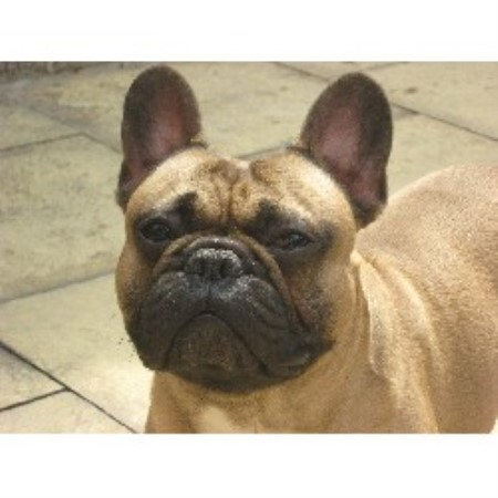 French Bulldog for Stud in Barnsley, South Yorkshire