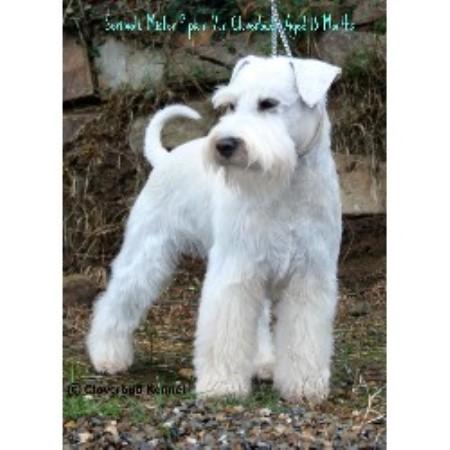Miniature Schnauzer Rescue Dogs Cumbria