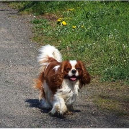 Havanese Dog For Sale Perth