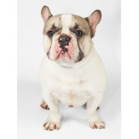 French Bulldog for Stud in Ashbourne, Derbyshire
