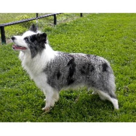 Border Collie for Stud in Coventry, West Midlands