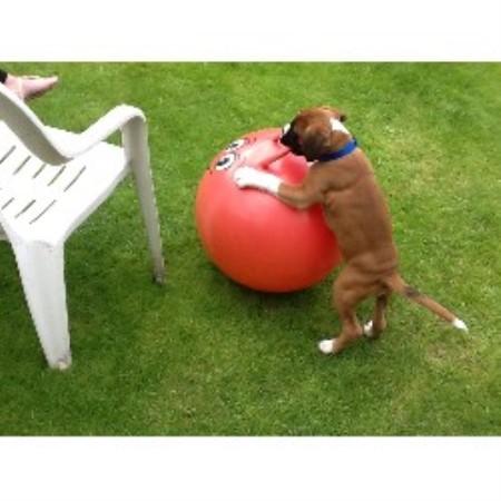Free Boxer Dog Durham Uk