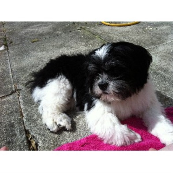 Jemma Poulter Lhasa Apso Stud In Bodmin Cornwall