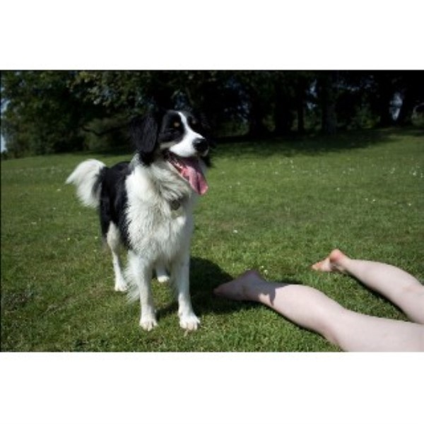 Border Collie for Stud in Swansea, Swansea