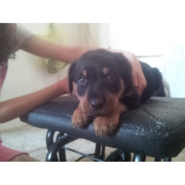 Rottweiler Breeder in Berkshire