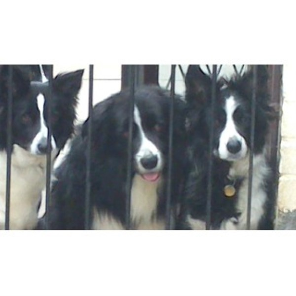Border Collie for Stud in Doncaster, South Yorkshire