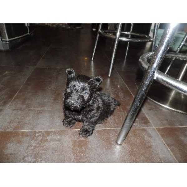 Scottish Terrier Breeder 21270