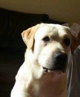 Labrador Retriever Stud in Ayr, South Ayrshire
