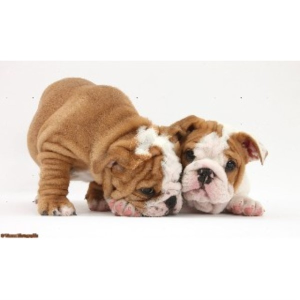 British Bulldog, Bulldog breeder in Lampeter, Ceredigion