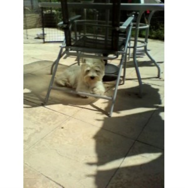 West Highland White Terrier Stud in Lincolnshire