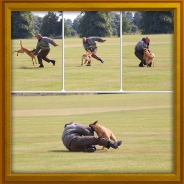 Malinois Stud in Staffordshire