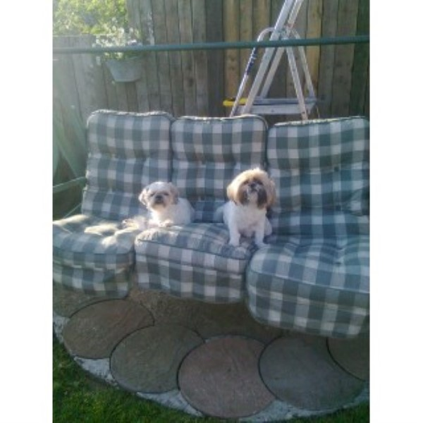 Sharons Shih Tzus Shih Tzu Breeder In Boston Lincolnshire