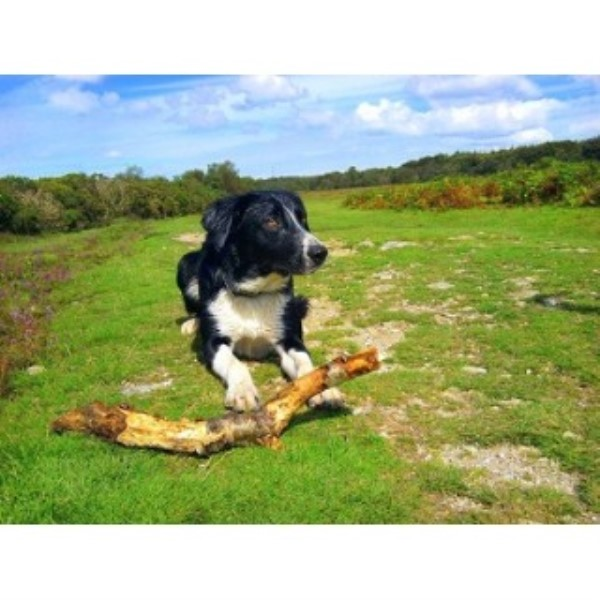 Border Collie for Stud in Wellington, Somerset