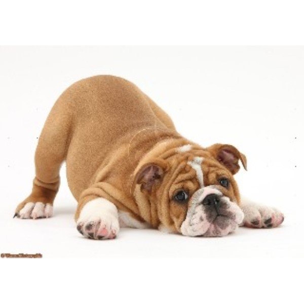 English Bulldog breeder in Ceredigion