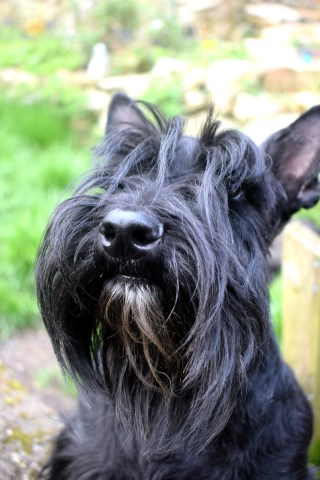 Divadell Scottish Terriers